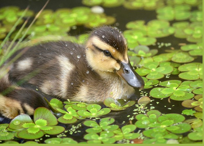 Baby Mallards Photographs Greeting Cards
