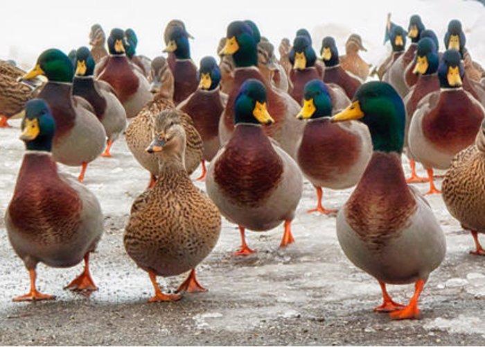 Flocks Of Ducks Greeting Cards