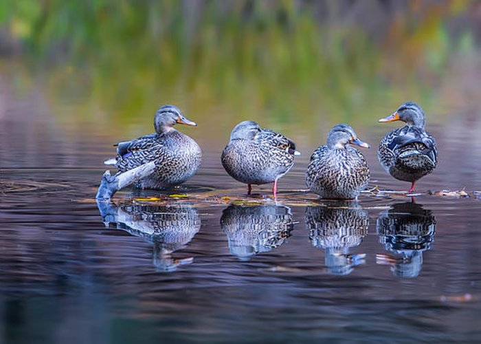Water Fowl Photographs Greeting Cards