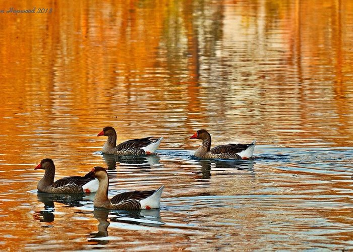 Ducks Greeting Card featuring the photograph Ducks In The Fall by Lynn Hopwood