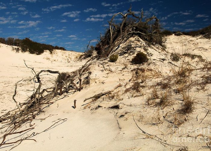 St Joseph Peninsula State Park Greeting Card featuring the photograph Dune Glue by Adam Jewell