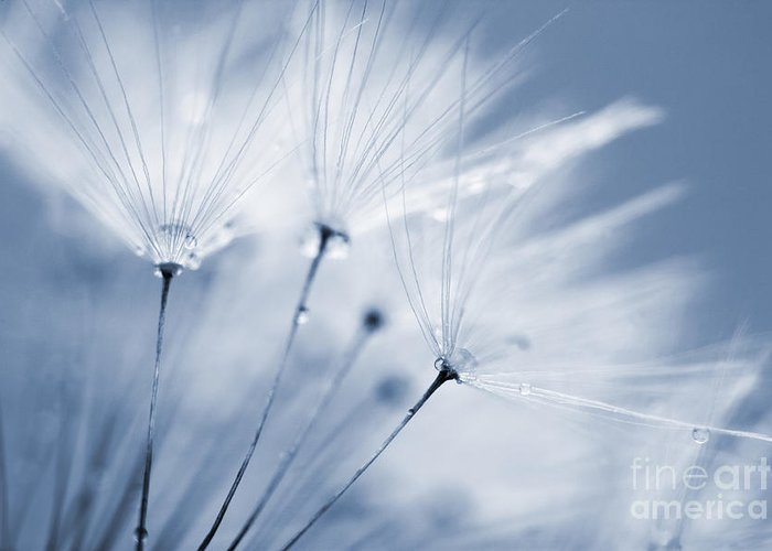 Dandelion Greeting Card featuring the photograph Dusty Blue Dandelion Clock And Water Droplets by Natalie Kinnear