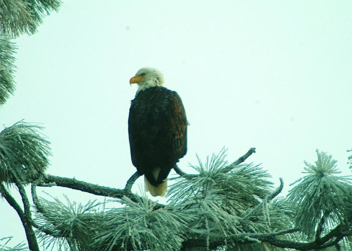 Wildlife Greeting Card featuring the photograph Eagle On A Frozen Pine by Jeff Swan