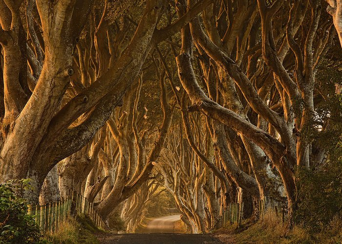 Dark Greeting Card featuring the photograph Early Morning Dark Hedges by Derek Smyth