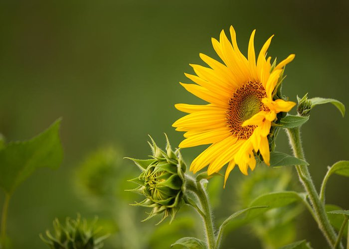 Sunflower Greeting Card featuring the photograph Early Morning Sunflowers by Bernard Lynch