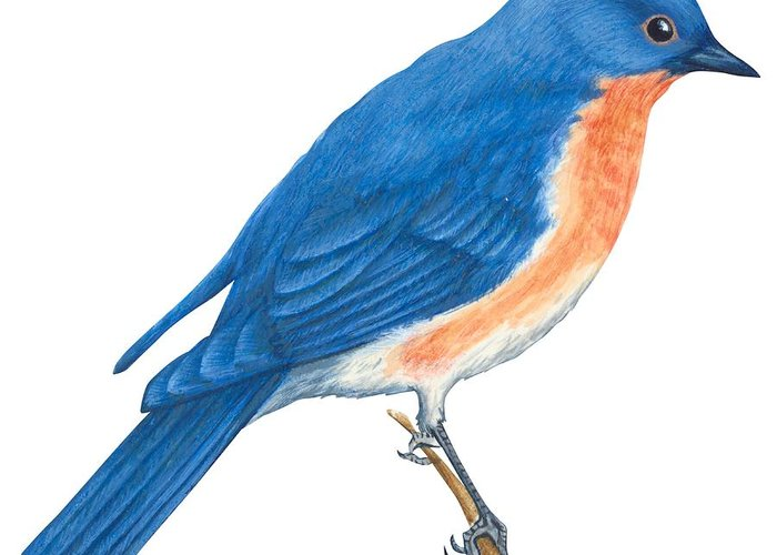 Eastern bluebird greeting card for sale by anonymous m4hsunfo