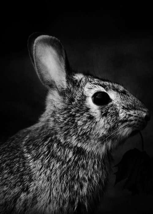 Nature Greeting Card featuring the photograph Eastern Cottontail Rabbit Portrait by Rebecca Sherman