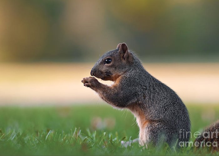 Squirrel Greeting Card featuring the photograph Eastern Fox Squirell by Brandon Alms