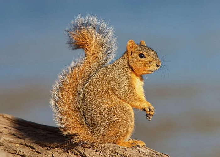 Eastern Fox Squirrel Photographs Greeting Cards