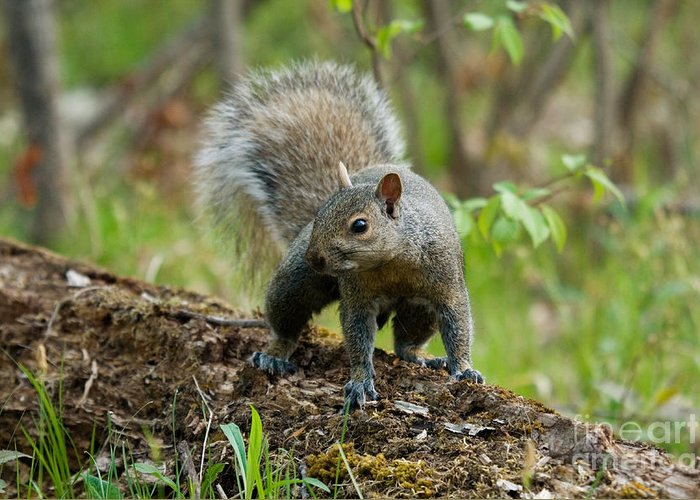 Eastern Gray Squirrel Greeting Card featuring the photograph Eastern Gray Squirrel by Linda Freshwaters Arndt
