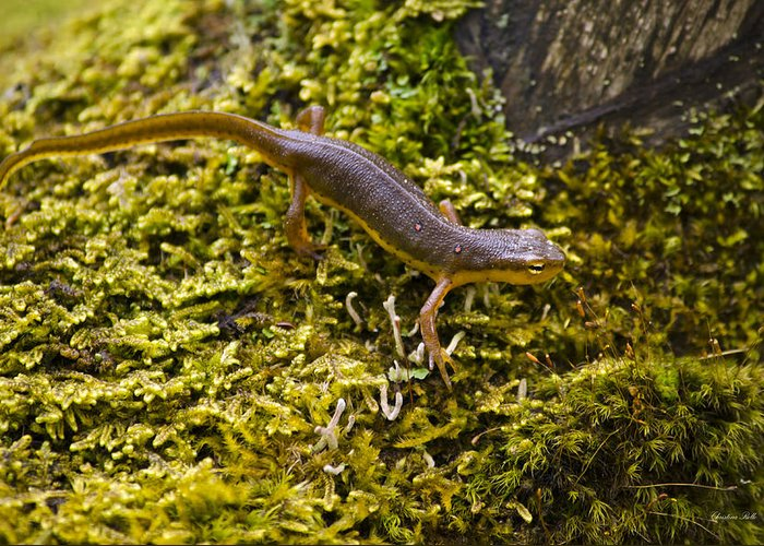 Newts Greeting Cards