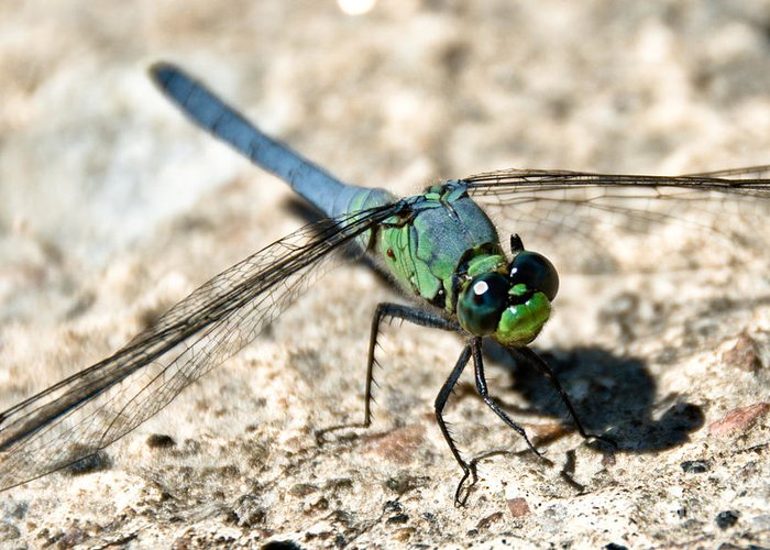Dragonfly Greeting Card featuring the photograph Eastern Pondhawk Side by Cheryl Baxter