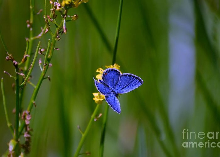 Blue Butterfly Greeting Card featuring the photograph Eastern Tail Blue Butterfly by Peggy Franz