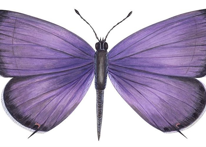 Zoology; No People; Horizontal; Close-up; Full Length; White Background; One Animal; Animal Themes; Nature; Wildlife; Symmetry; Fragility; Wing; Animal Pattern; Antenna; Entomology; Illustration And Painting; Purple Greeting Card featuring the photograph Eastern Tailed Blue Butterfly by Anonymous