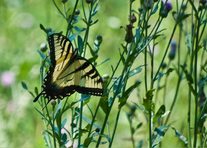 Butterflies Greeting Card featuring the photograph Eastern Tiger Swallowtail Ins 76 by G L Sarti