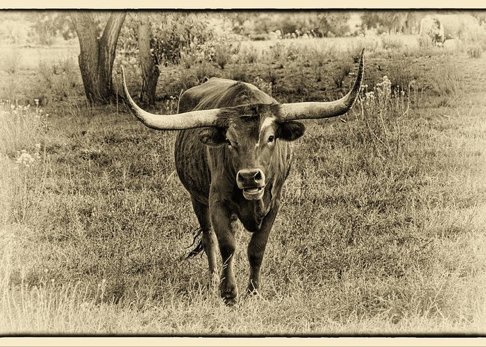 Longhorn Cattle Greeting Card featuring the photograph Eat Leaf Not Beef Sepia by Priscilla Burgers