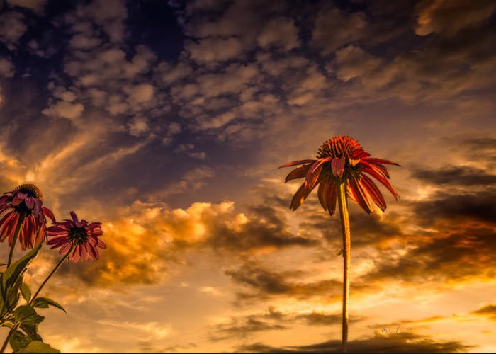 Flower Greeting Card featuring the photograph Echinacea Sunset by Bob Orsillo