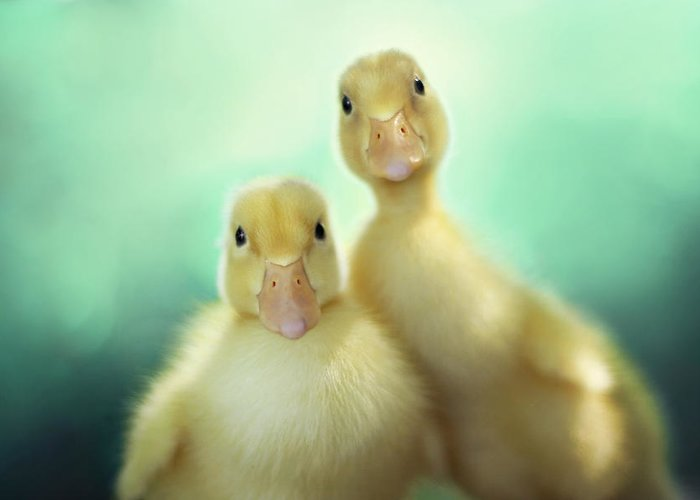 Duck Greeting Card featuring the photograph Edgar And Sally by Amy Tyler