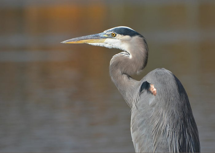 Great Blue Heron Greeting Card featuring the photograph Edge Of Autumn 2 by Fraida Gutovich