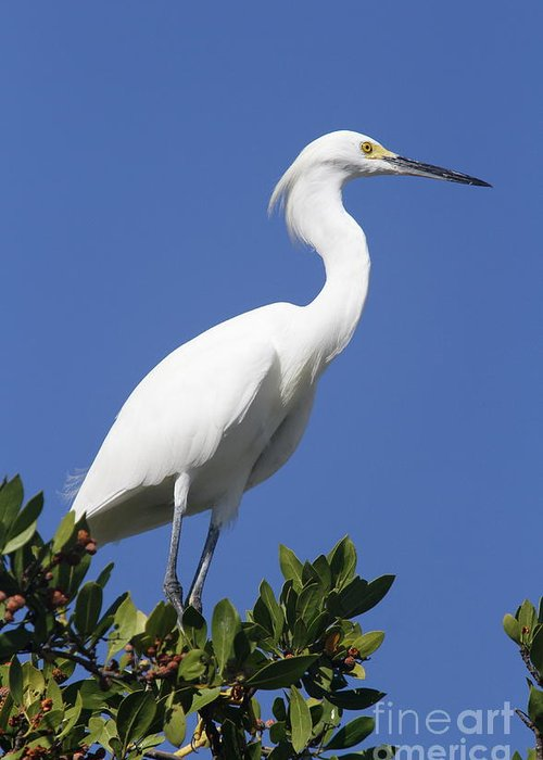 Snowy Egret Greeting Card featuring the photograph Egret Outlook by Christiane Schulze Art And Photography