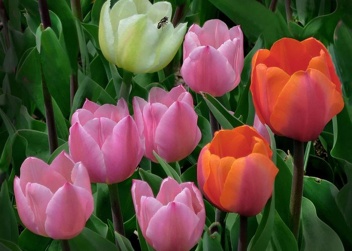Tulips Greeting Card featuring the photograph Eight Tulips And One Bee by Muriel Levison Goodwin