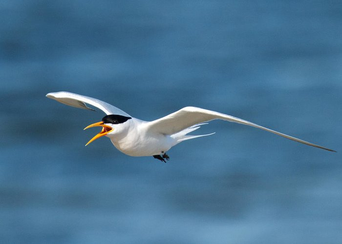 Birds Greeting Card featuring the photograph Elegant Tern by Steve Kaye