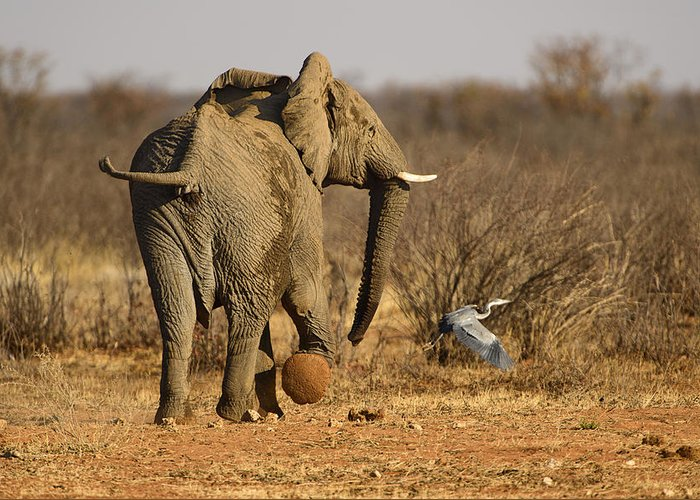 Sand Greeting Card featuring the photograph Elephant On The Run by Paul W Sharpe Aka Wizard of Wonders