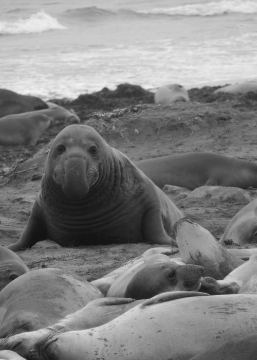 Ano Nuevo Greeting Card featuring the photograph Elephant Seal Bull by Gwendolyn Barnhart