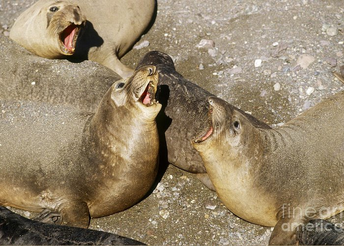 Fauna Greeting Card featuring the photograph Elephant Seal Confrontation by James L. Amos