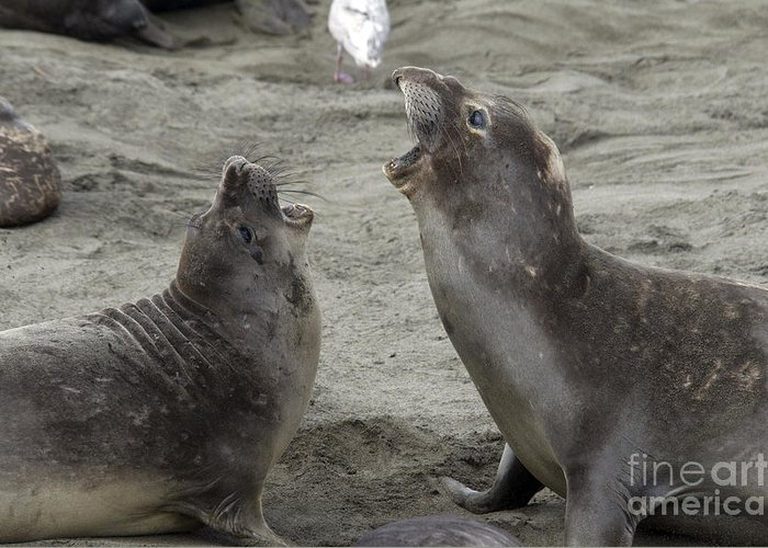 Fauna Greeting Card featuring the photograph Elephant Seal Confrontation by Mark Newman
