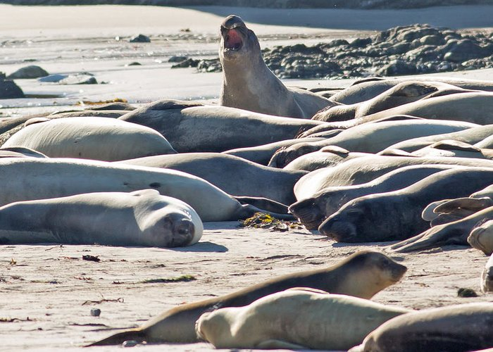 Elephant Seals Greeting Card featuring the photograph Elephant Seals At Ano Nuevo State Park California by Natural Focal Point Photography