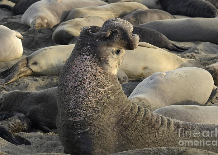 California Greeting Card featuring the photograph Elephant Seals by Bob Christopher
