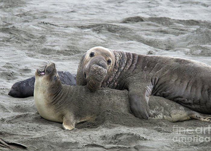 Fauna Greeting Card featuring the photograph Elephant Seals Mating by Mark Newman