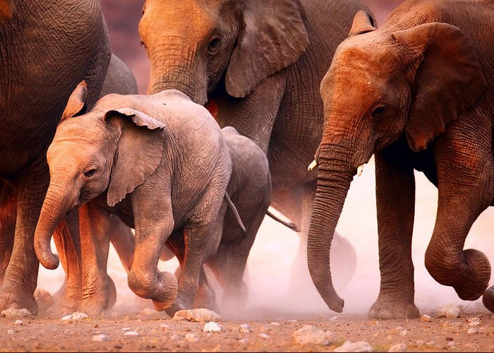 Wild Greeting Card featuring the photograph Elephants Stampede by Johan Swanepoel