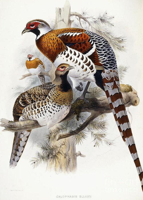 Pheasant Greeting Card featuring the painting Elliot's Pheasant by Joseph Wolf