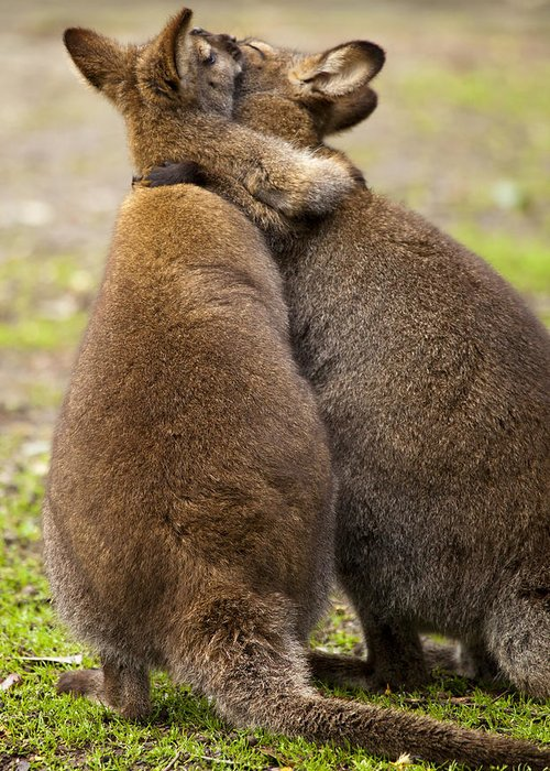 Wallaby Greeting Card featuring the photograph Embrace by Mike Dawson