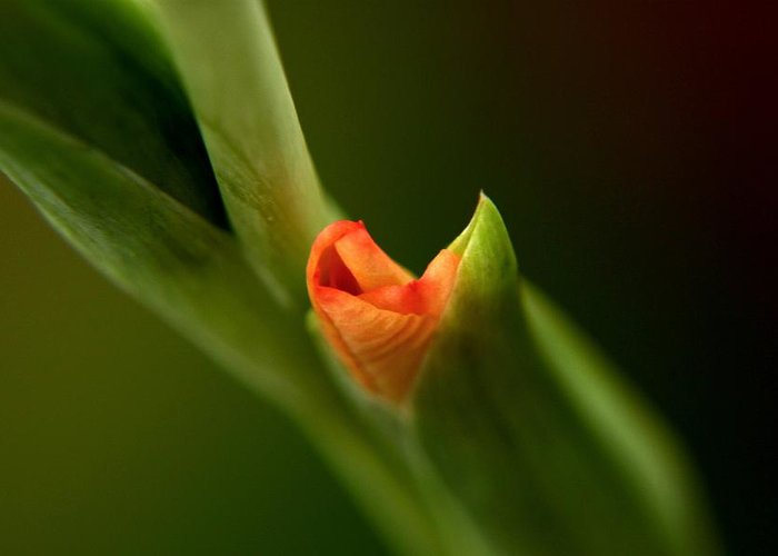 Spring Time Greeting Card featuring the photograph Emerging Beauty - Gladiolus by Ramabhadran Thirupattur