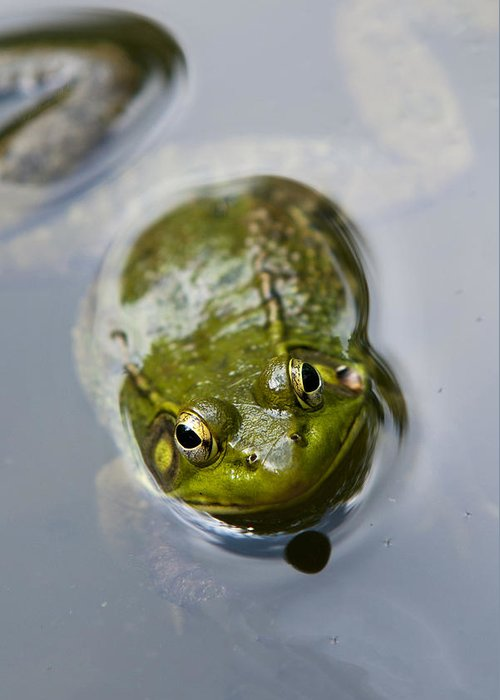 Frog Greeting Card featuring the photograph Emerging Green by Christina Rollo