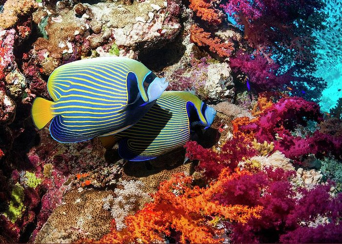Nobody Greeting Card featuring the photograph Emperor Angelfish On A Reef by Georgette Douwma
