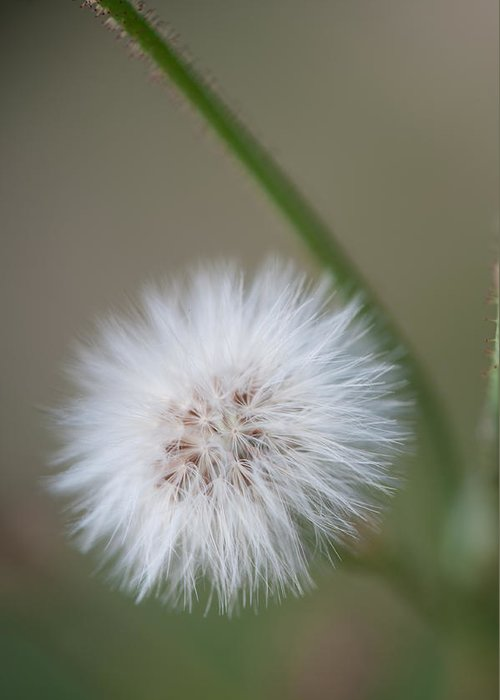 Dandelion Greeting Card featuring the photograph End of Life by Paul Johnson