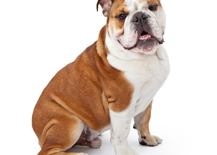 Dog Greeting Card featuring the photograph English Bulldog Sitting by Susan Schmitz