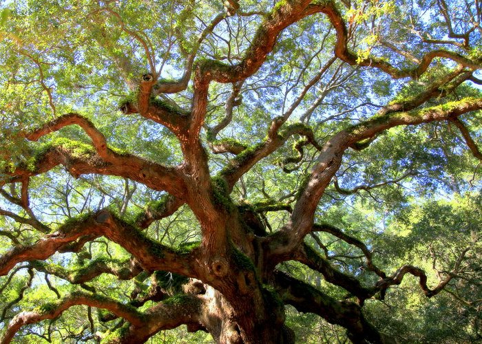 Charleston Greeting Card featuring the photograph Entangled Beauty by Karen Wiles