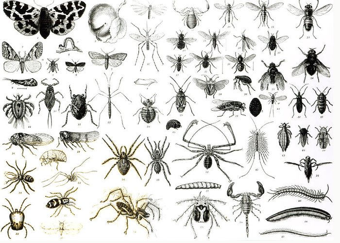 Insects; Arachnids; Butterfly; Zoology; Species; Fly; Flies; Scorpion; Spiders; Millipede; Moth Greeting Card featuring the drawing Entomology Myriapoda And Arachnida by English School