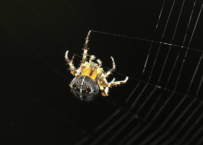 Animal Greeting Card featuring the photograph European Garden Spider by Science Photo Library
