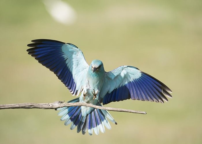 Animal Greeting Card featuring the photograph European Roller by Science Photo Library