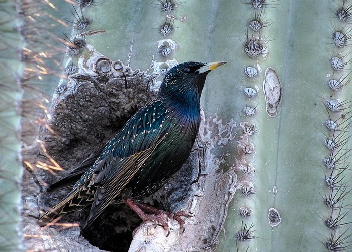 European Starling Greeting Card featuring the photograph European Starling by Tam Ryan