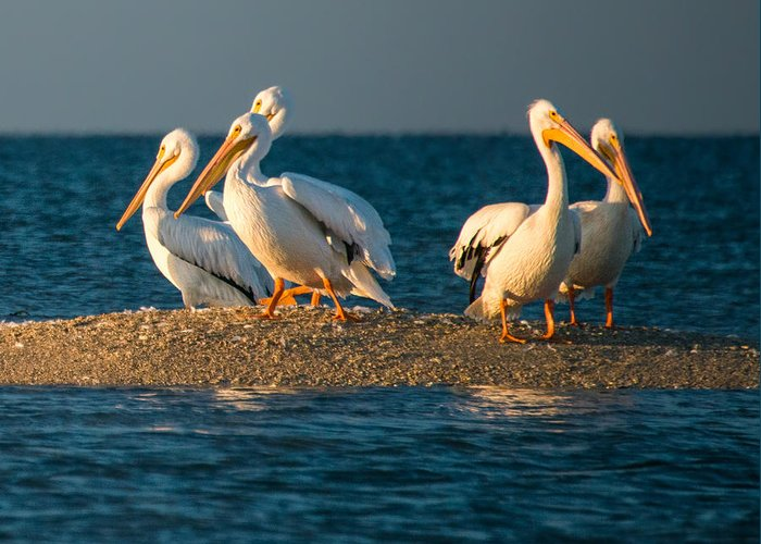 Everglades Greeting Card featuring the photograph Everglades White Pelicans by Gloria Matyszyk
