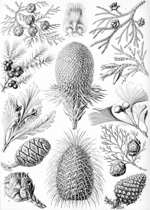 Botany Greeting Card featuring the drawing Examples Of Coniferae From Kunstformen by Ernst Haeckel