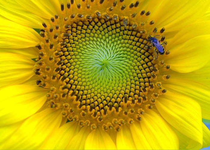 Sunflower Greeting Card featuring the photograph Extravagant Appetite  by Shayne Johnson Fleming