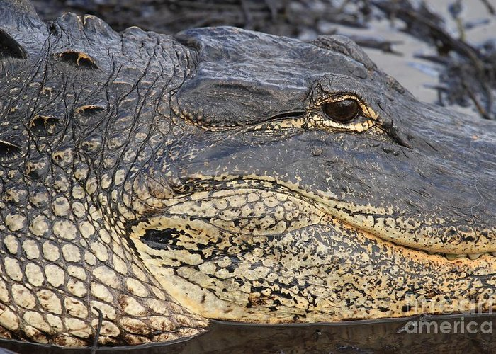 Alligator Greeting Card featuring the photograph Eye Of The Gator by Adam Jewell